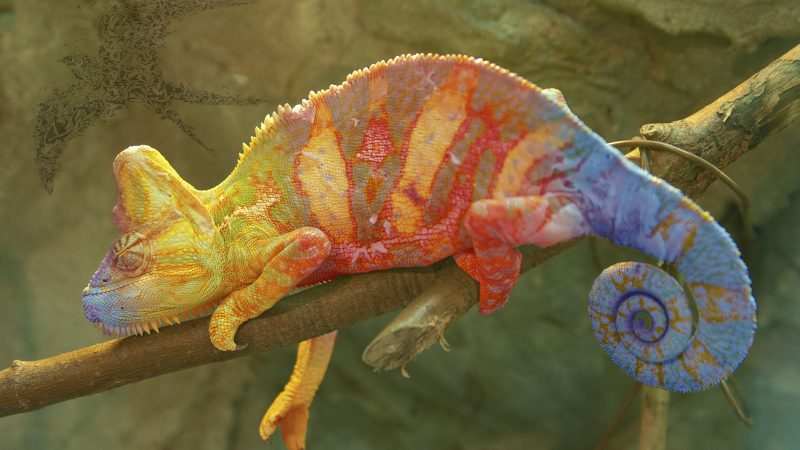 Colorful Chameleon on branch closeup